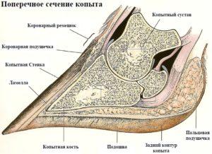 Анатомическое строение копыта