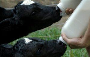 Питание теленка с 3 недели