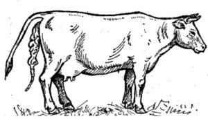 Что представляет собой послед у коровы
