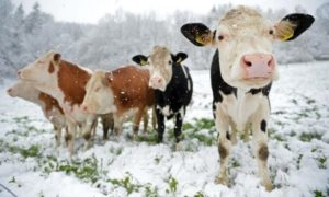 Восприятие окружающего мира и «общение» коровы