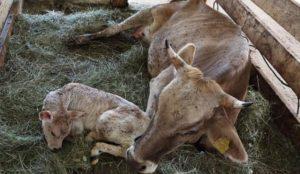 Причины исчезновения молока у коровы