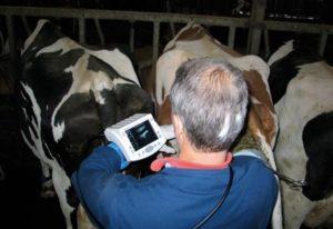Как определить беременность у коровы