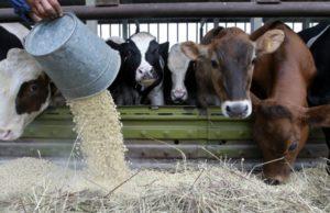 Питание коров в зимний период