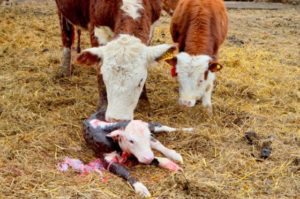 Отхождение плаценты у коровы