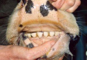 Возраст животного по зубам
