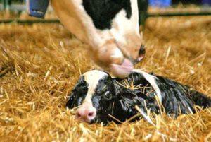 Новорожденный теленок не встает на ноги