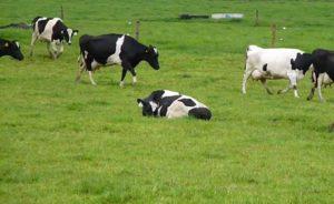 Выбор места для сна коровы