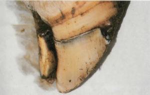 Ламинит или кориоз у коровы