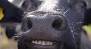 Строение зубов у коровы