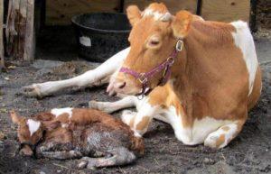 Тетания у теленка