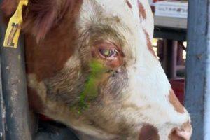Причины развития и способы лечений конъюнктивита у коров