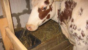 Питание коров в запуске