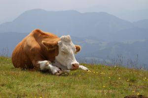Положение тела во время сна коровы