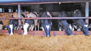 Рацион молочных коров