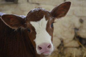 Строение слухового аппарата у коровы