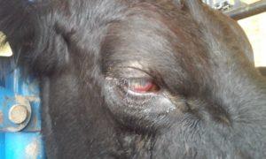 Кератоконъюнктивит и его признаки у коровы