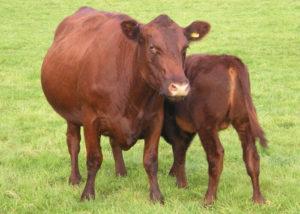 Безрогие коровы