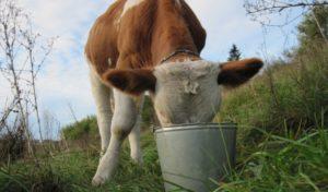 Введение в рацион твёрдых кормов