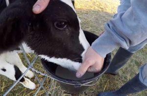 Антибактериальные средства с электролитами при поносе у теленка