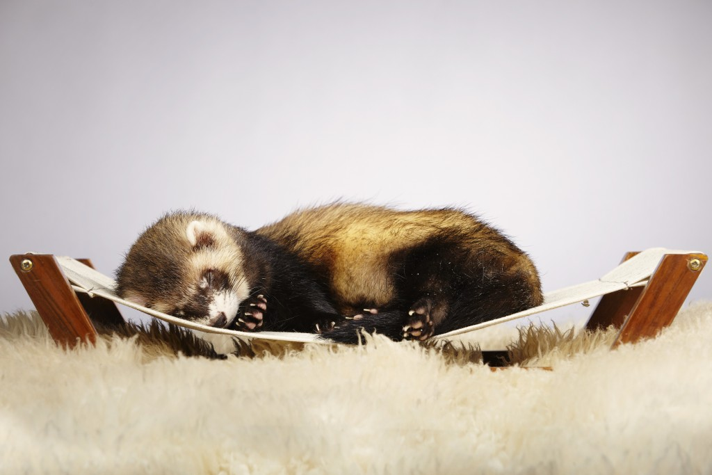Хорек спит на маленьком гамаке