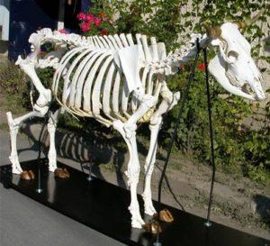Скелет коровы: анатомическое строение