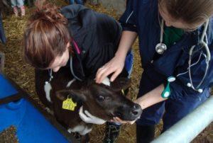 Терапевтические мероприятия у теленка