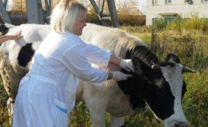 Как заботиться о стельной корове
