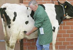 Ведение календаря беременности коровы