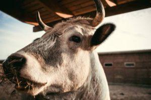 depositphotos_197622784-stock-photo-close-view-cow-eating-dry-300x200.jpg