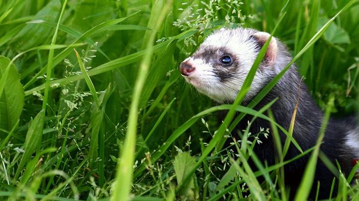 хорек в зеленой траве