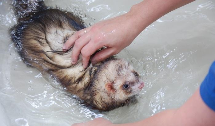 хорек в ванне