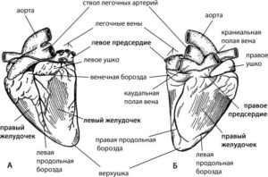 Как работает сердечный аппарат коровы