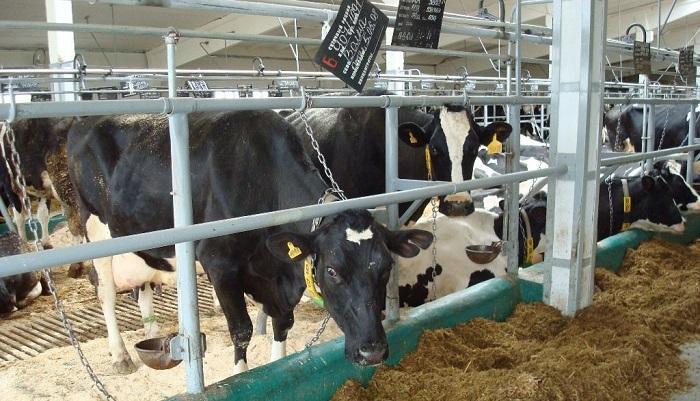 корова и цепь