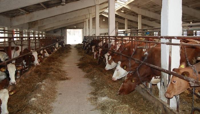 коровы и сено