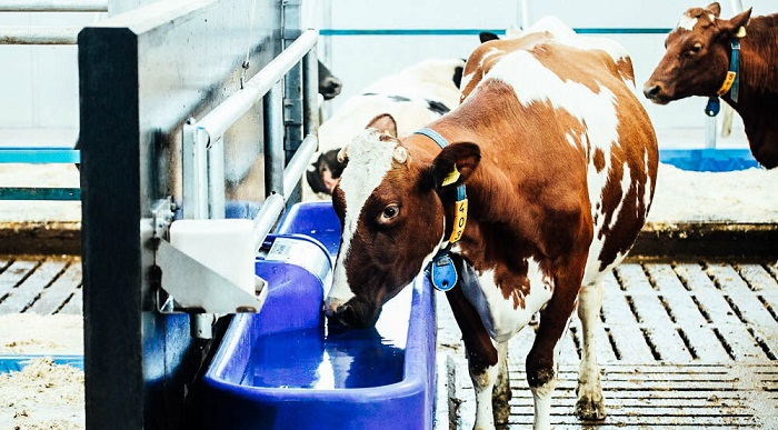 синие пойло и корова