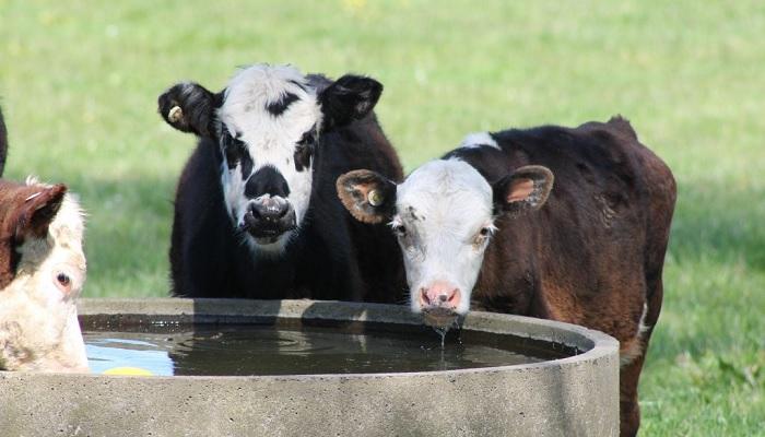 телята и вода