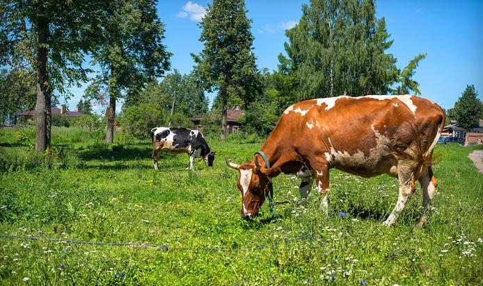 корова у деревни