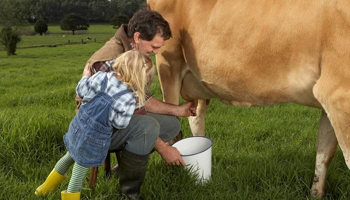 корову доют