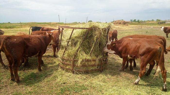 сено и коровы