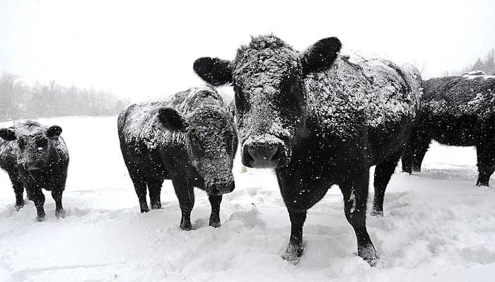 черные коровы и снег