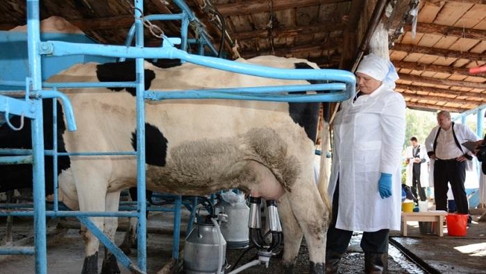 корова и доярка