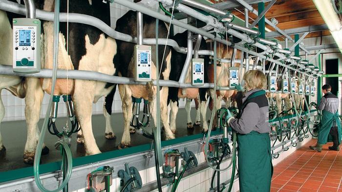 доярка и коровы