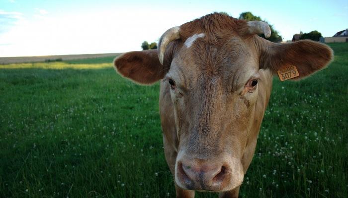 корова и зеленая травка