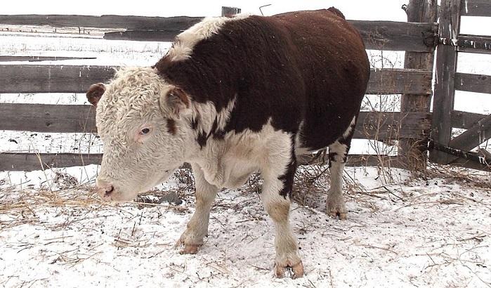бычок зимой