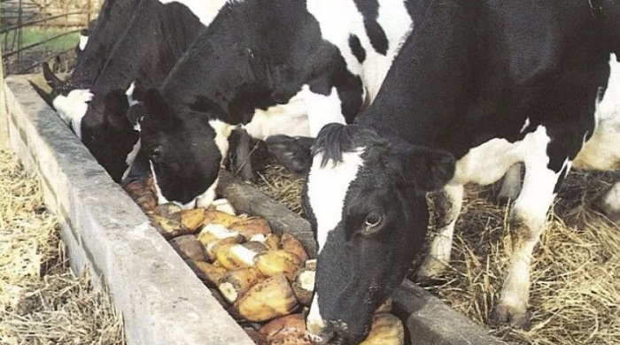 свекла и корова