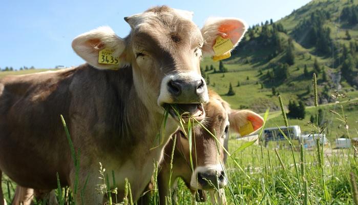 две коровы и горы