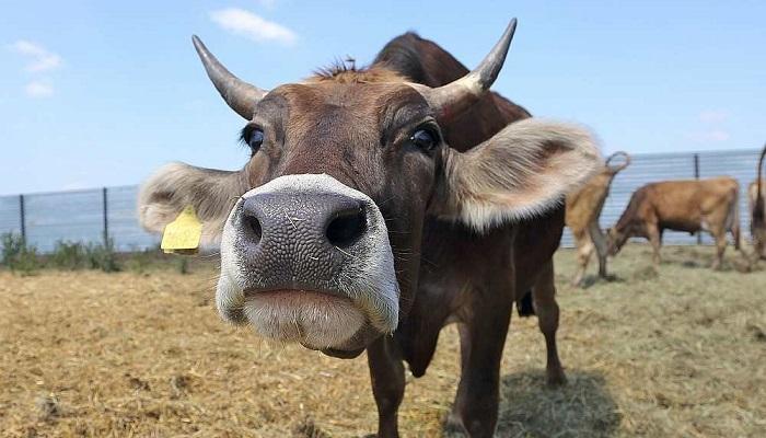 корова в кадре