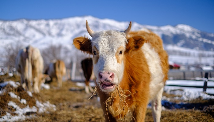 корова и снежные горы
