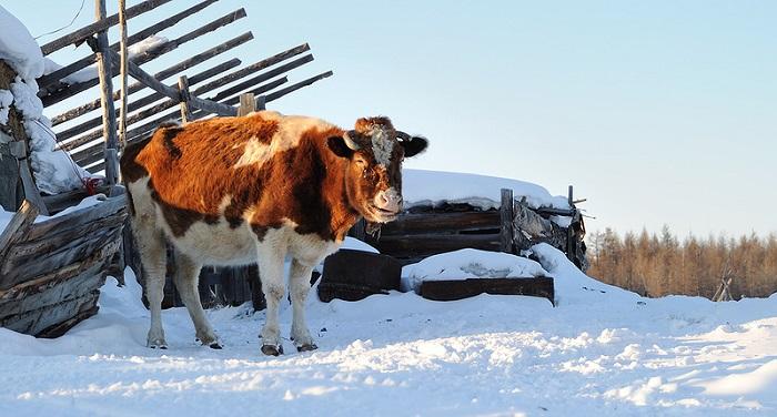 корова и снег