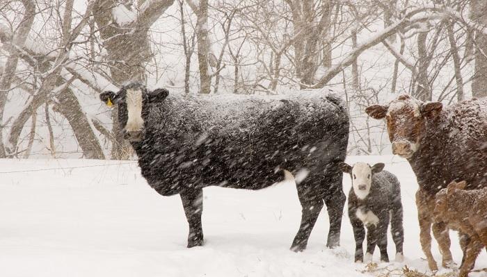 корова и снежинки